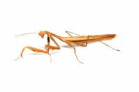 Locusts on white background.