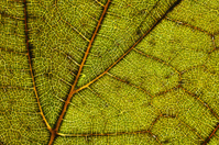 Macro of autumn plane tree leaf