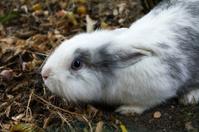 Dwarf rabbit with blue eyes
