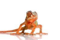 Panther Chameleon Furcifer Pardalis
