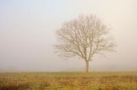 Single bare oak tree on field in fog