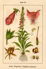 Botanic FiA v10 t33 Digitalis purpurea
