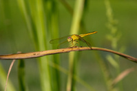 YellowDragon fly