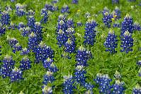 Close-up Texas bluebonnets