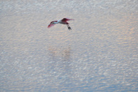 landing Roseate spoonbill