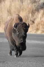 Buffalo in the road