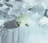 Little seal in the North Caspian Sea.