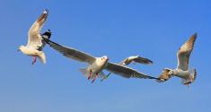 Seagulls flying wings in sky.