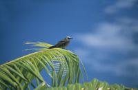 Oiseau sur un palmier en Polynésie Française, Tahiti