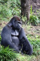 Lowland Silver Back Male Gorilla