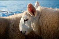 Sheep Portrait, Outer Hebrides