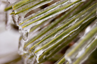 Pine needles covered in ice