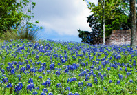 Bluebonnets Growing on a Texas Hillside - Horizontal