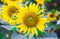 Sunflowers closeup on a farmer's field