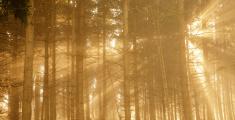 Sunbeams shine through spruce forest on foggy day