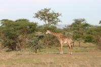 Masai Giraffe (Giraffa camelopardalis tippelskirchi), Serengeti,