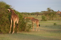 Young Masai Giraffe (Giraffa camelopardalis tippelskirchi), Sere