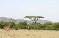 Masai Giraffe (Giraffa camelopardalis tippelskirchi), Savannah,