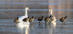 mute swans and coots together on ice
