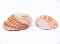 seas-shells
