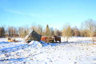 cattle in the cow pasture surrounded with snow