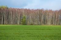 german forest birch