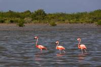 Flamingos in water Cuba