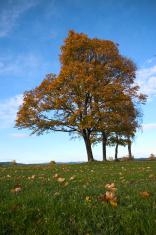 Autum Tree 3
