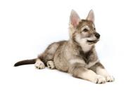 Tamaskan silver puppy