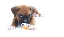 Little Boxer Puppy