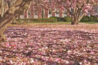 Pink Magnolias - 2