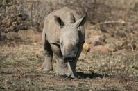 Baby Rhino charging
