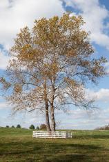 Large Tree on Horse Farm