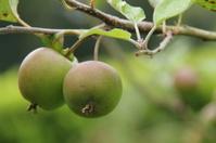 Fruit Tree.