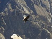 Landing Condor