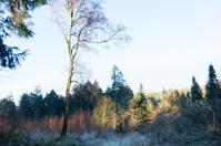 winter morning fir tree and birch