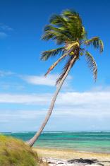 Palm on caribbean sea