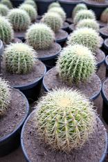 Spherical Cactus in jardiniere.