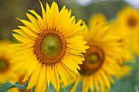 Closeup for Beautiful sunflowers.