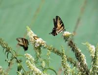 Butterfly on white flowering bush