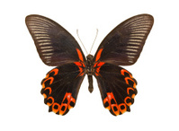 Butterfly Papilio deiphobus rumanzovia