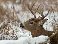 Large Deer in snow