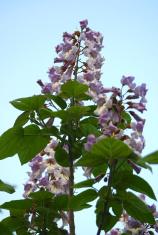 Paulownia blossom