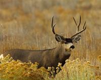 Mature Mule Deer Buck Broadside