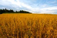 Oats  Fields