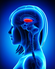 Anatomy of brain s globus pallidus,lateral, L- cross section