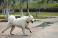 Happy samoyed dog running