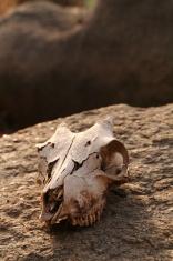 Goat Skull on a Rock