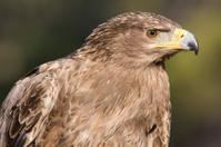 Tawny Eagle Profile