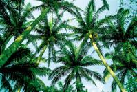 Palm tree in Okinawa,Japan